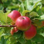 erbicide pomi fructiferi