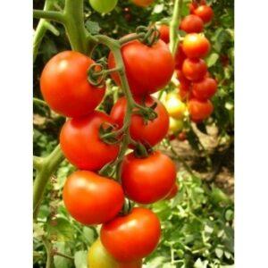 Seminte Tomate hibrid Primadona F1 Hazera&Nickerson