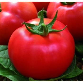 Seminte tomate Kartier F1(1000 sem) Clause