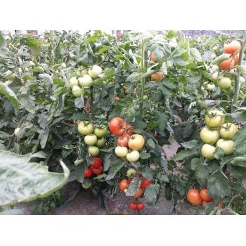 Seminte tomate Lorely F1(250 sem) Clause