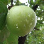 insecticide pomi fructiferi
